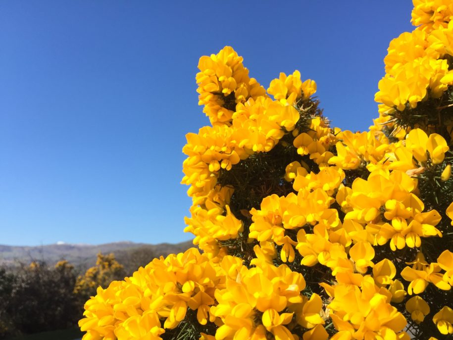 Gorse in Bloom....!!!!
