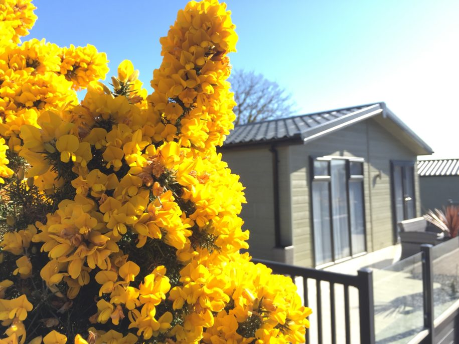 The magnificent gorse is in full bloom....!!!!!