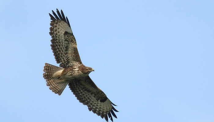 Gorse Hill's resident Buzzard captured in glorious flight.